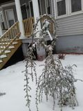 Small drooping tree covered with snow stock photography