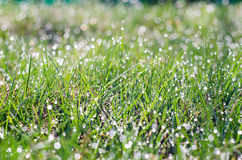 Small drops of dew on fresh green grass in the morning Royalty Free Stock Images