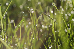 Small drops of dew on fresh green grass in the morning Royalty Free Stock Photo