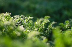 Small drops of dew on fresh green grass in the morning Royalty Free Stock Photography