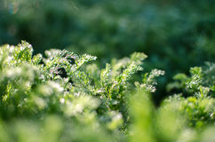 Small drops of dew on fresh green grass in the morning Royalty Free Stock Image