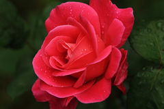 With small drops of red rose. The red rose petals are tiny water droplets Stock Image