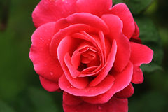 With small drops of red rose. The red rose petals are tiny water droplets Stock Photos