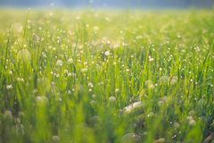 Small drops of water sparkle on tiny leaves of grass after rain on the meadow at spring evening of May. Macro photography. Small drops water sparkle tiny leaves royalty free stock photos