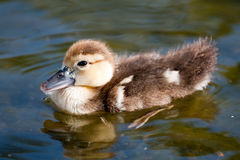 Small Duck Royalty Free Stock Images