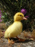 Small duck. A free yellow small duck stock photos