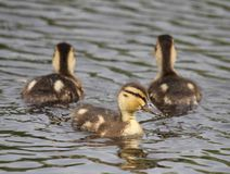 Small duck. Chick small duck bevy in the pond Stock Image