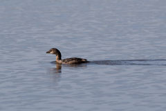Small duck on glassy reflective lake Stock Photography