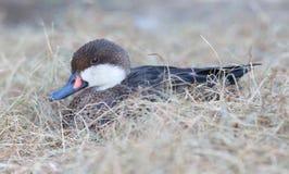 Small duck nesting stock photo