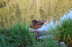 Small duck resting near the lake in one leg. Small duck on glassy reflective lake Royalty Free Stock Images