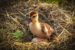A small duck sits on a hay nest. Close up stock photos