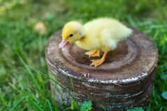 Small duck on a stump in a meadow with green juicy grass stock image
