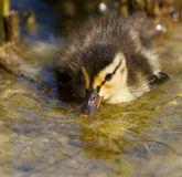 A small duck in the water. Close-up of a small duck in the water Royalty Free Stock Photography