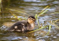 Small duckling close-up of water and algae. Little duckling on the water. Summer lake and small duckling Royalty Free Stock Photos