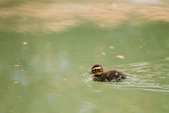 Small duckling floating in pond. European fauna Stock Photos