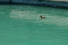 Small duckling floating on water. Close up Stock Photos