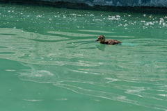 Small duckling floating on water. Close up Royalty Free Stock Photo
