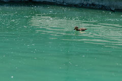 Small duckling floating on water. Close up Royalty Free Stock Photos