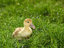 Small duckling on meadow Stock Photography
