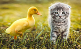 Small duckling outdoor playing with a cat on green grass Royalty Free Stock Images