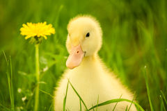 Small duckling Royalty Free Stock Image