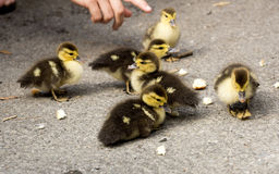 Small ducklings with bread. Small fluffy ducklings with bread stock photography