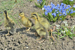 Small ducklings 2 Royalty Free Stock Photos