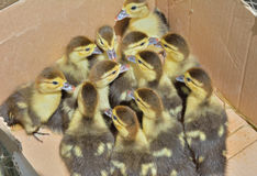 Small ducklings  Royalty Free Stock Image