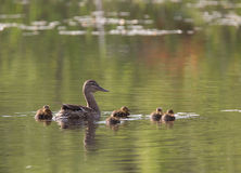 Small ducklings Stock Image