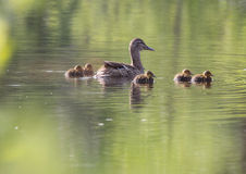 Small ducklings Royalty Free Stock Photo