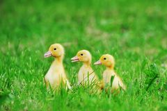 Small Ducklings Green Grass Royalty Free Stock Images