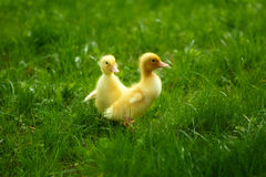Small Ducklings Outdoor On Green Grass Stock Photography