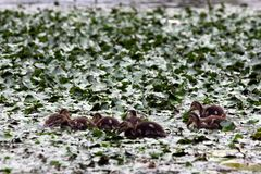 Small ducklings are swimming in an overgrown pond. Outdoors, outside stock photo