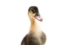 Small ducklings. On a white background Royalty Free Stock Photos