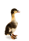 Small ducklings. On a white background Stock Photo