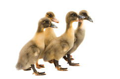 Small ducklings. On a white background Stock Photos