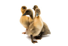 Small ducklings. On a white background Stock Images