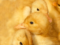 Small ducklings on yellow Royalty Free Stock Photography