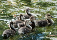 Small ducks Royalty Free Stock Photos