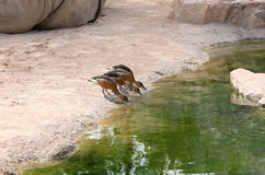 Small ducks in Biopark Stock Photos