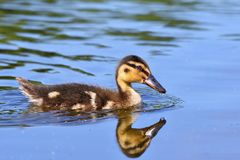 Small ducks on a pond. Fledglings mallards.(Anas platyrhynchos). Nature Royalty Free Stock Image