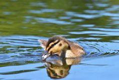 Small ducks on a pond. Fledglings mallards.(Anas platyrhynchos). Nature Stock Photography