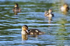 Small ducks on a pond. Fledglings mallards.(Anas platyrhynchos). Nature Royalty Free Stock Photos