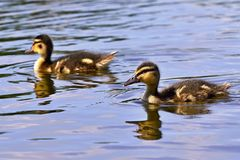 Small ducks on a pond. Fledglings mallards.(Anas platyrhynchos). Nature Royalty Free Stock Photo