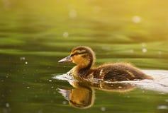 Small ducks on a pond. Fledglings mallards.Anas platyrhynchos.  Royalty Free Stock Photo