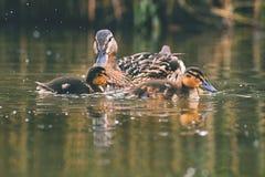 Small ducks on a pond. Fledglings mallards.& x28;Anas platyrhynchos& x29;. Small ducks on a pond. Fledglings mallards.Anas platyrhynchos Stock Images