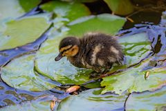 Small ducks on a pond. Fledglings newborn mallards.Anas platyrh. Close up of a newborn Mallard Duck chick Anas platyrhynchos Royalty Free Stock Image