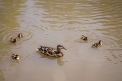 Duck family in a pond. Small ducks swimming around mother duck in the lake royalty free stock photo
