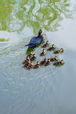 Small ducks are swimming Royalty Free Stock Image