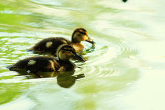 Small ducks Royalty Free Stock Photography